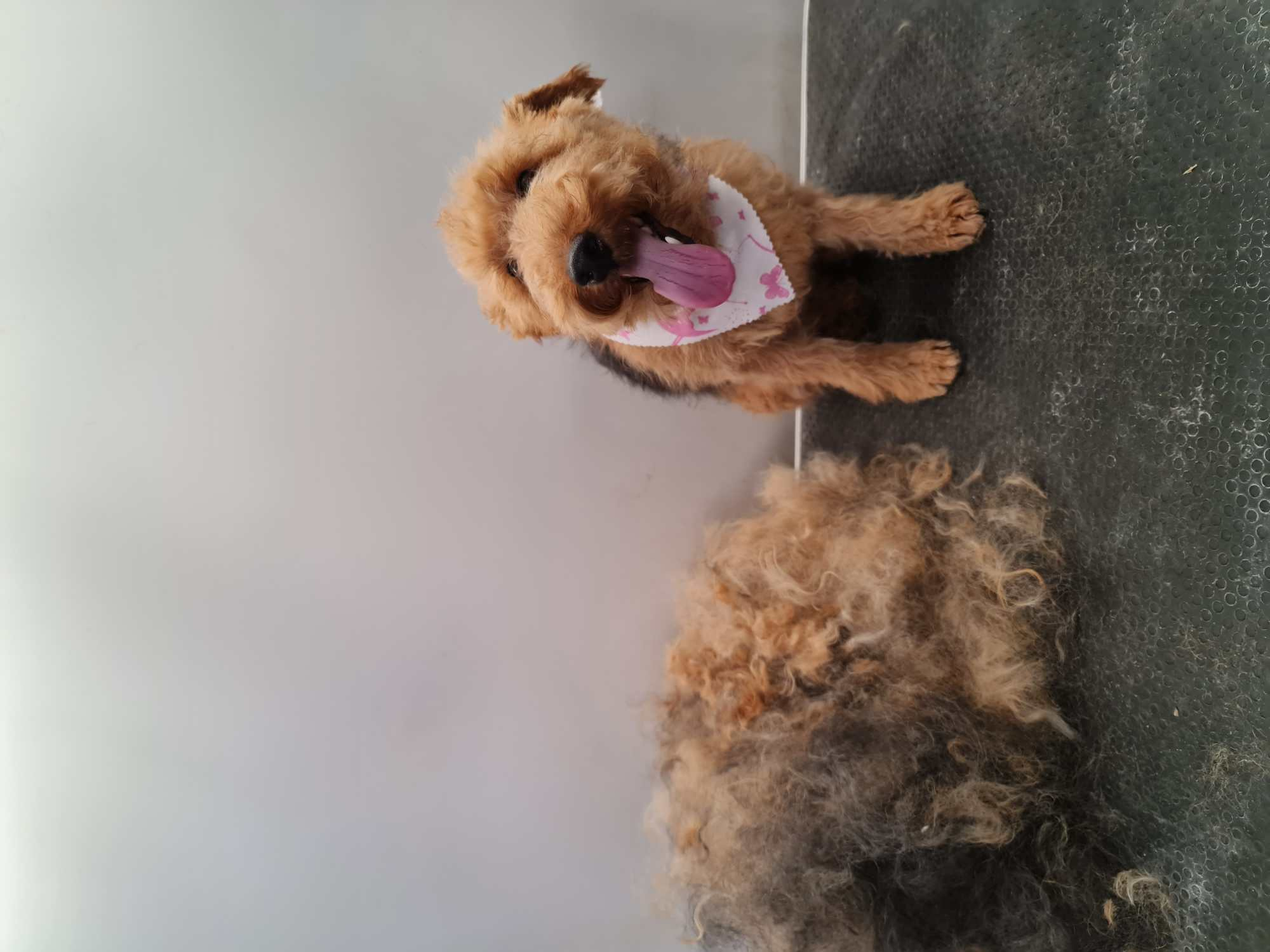 Hand Stripping Dog Grooming in Rutland & Stamford